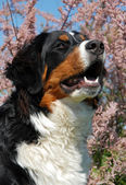 Young bernese mountain dog