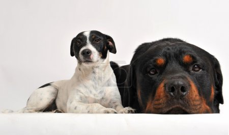 Rottweiler and jack russel terrier