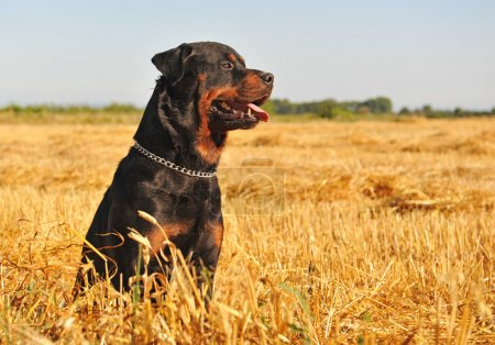 Rottweiler in a field