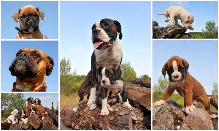 Photo pour Photo composite avec chiens de race et boxer pour chiots à l'extérieur - image libre de droit