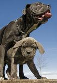 Italian mastiff mother and puppy