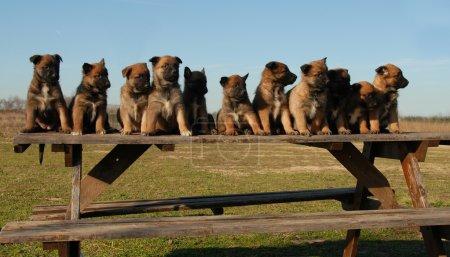 Puppies belgian shepherds
