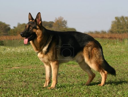 Portrait of a purebred german shepherd...
