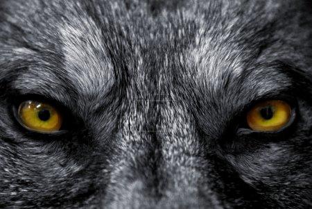 Beautiful eyes of a wild wolf: dangerous mammal...