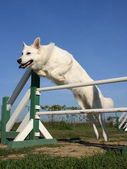 Jumping white german shepherd