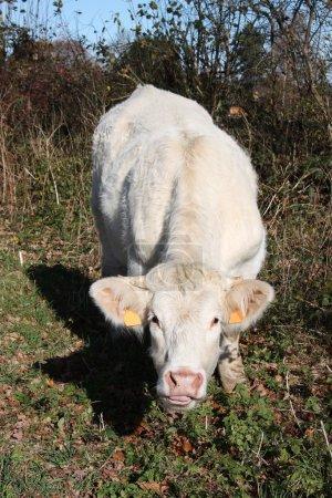 Inquisitive Charolais Cow