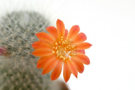 Cactus flower on the white background