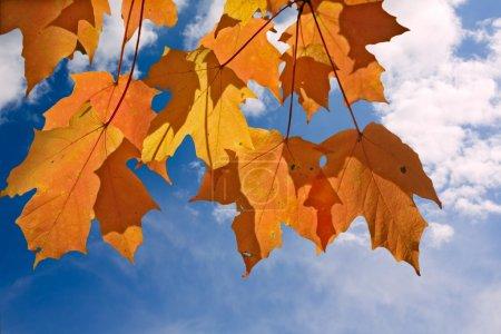 Foto de Naranja y amarillo las hojas de Arce azucarero (Acer saccharum) iluminado por el sol de otoño contra un brillante cielo azul y nubes blancas - Imagen libre de derechos