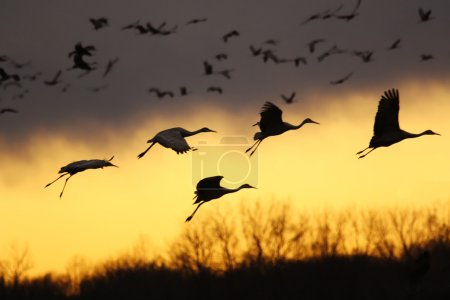 Photo for Migrating sandhill cranes (Grus canadensis) come for a landing at sunset in the Jasper-Pulaski Fish and Wildlife Area near Medaryville, Indiana - Royalty Free Image