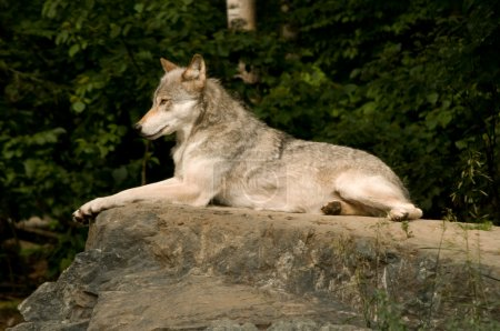 Lounging great plains wolf