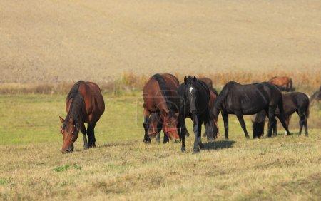Photo pour Un groupe de chevaux à l'intérieur d'un troupeau de chevaux - image libre de droit