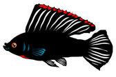 Fish Amazon molly (Poecilia formosa)