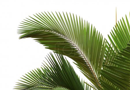 Photo for Leaves of palm tree isolated on white background - Royalty Free Image