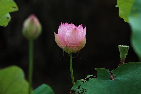 Photo pour Fleur de nénuphar - image libre de droit