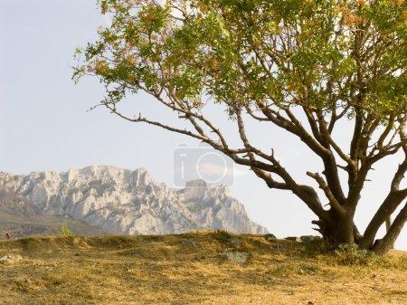 Lonely pistachio tree