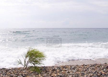 Photo pour Branche de pin sur une plage de la mer. sur la petite tempête de mer. - image libre de droit
