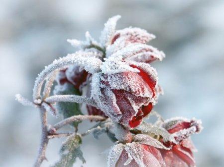 Photo pour Gelée de roses rouges à la fin de l'automne. - image libre de droit
