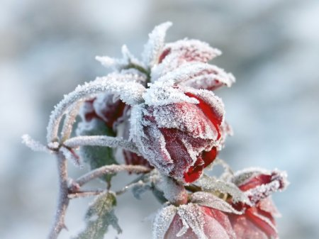 Red roses covered with frost