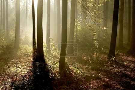 Photo for Bright sunlight illuminates autumn forest surrounded by mist. - Royalty Free Image