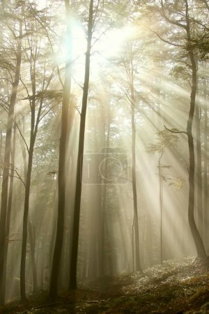 Photo pour Lumière du soleil qui brille entre les branches des arbres et tombe dans la Forêt brumeuse automnale. - image libre de droit