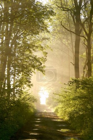 Photo for Misty forest path backlit by the light of the rising sun. Photo taken in May. - Royalty Free Image