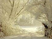 Winter lane among white willows