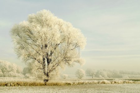 Majestic tree covered with frost just after sunrise. Photo taken in December.