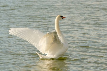 Swan spreads its wings