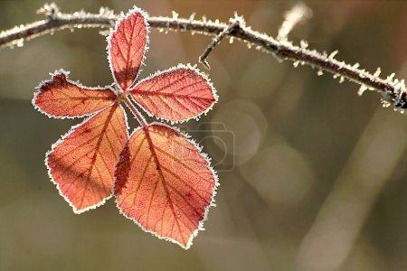 Photo pour Feuille d'automne avec gel matinal rétro-éclairé par la lumière du soleil levant. Photo prise en décembre . - image libre de droit