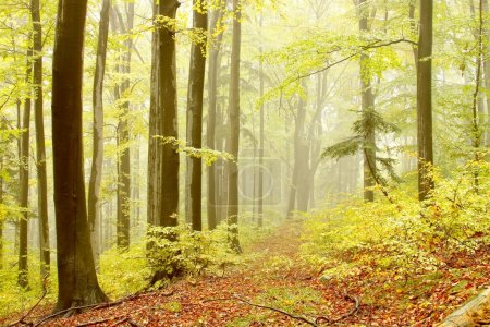Forest path with beech trees