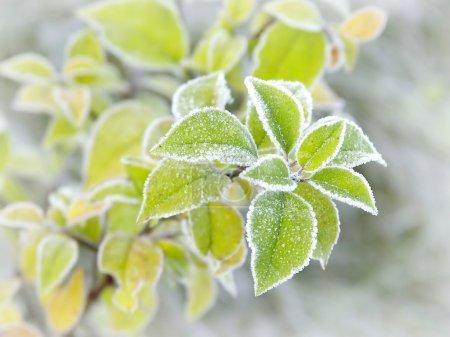 Photo pour Plante à feuilles recouverte de givre du matin. photo prise en fin d'automne. - image libre de droit