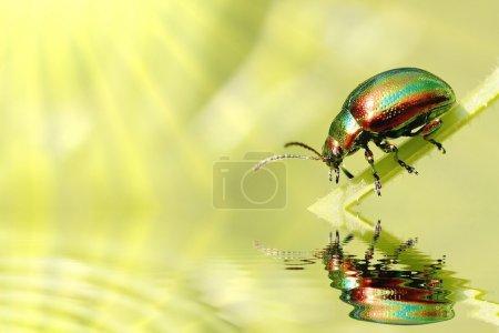 Photo pour Coléoptère vert vif sur la tige éclairée par les rayons du soleil du matin. Photo prise en mai . - image libre de droit