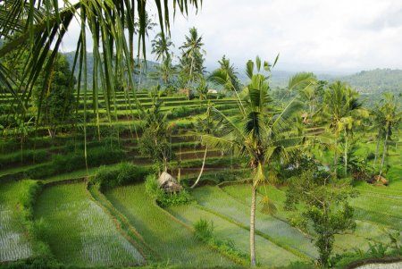 Young watered terrace ricefield
