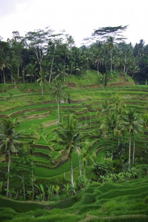 Palms and terrace ricefield in Bali