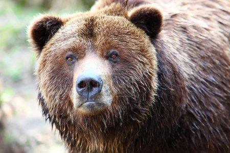 Photo pour Gros plan sur l'ours brun - image libre de droit