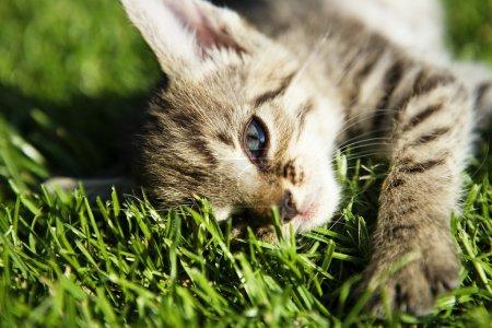 Photo pour Chaton sur la belle herbe verte prise par macro - image libre de droit