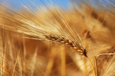 Close-up of ear of wheat