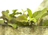 Basil tulasi and stone pestle mortar