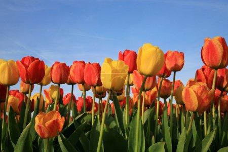Spring flowers in Netherlands