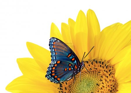 Photo for Sunflower with blue butterfly - Royalty Free Image