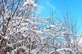 Fruit of wild rose covered with snow