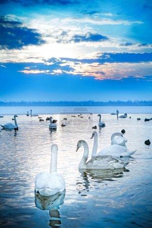 Photo pour Lac des cygnes - image libre de droit