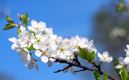 Photo pour Fleur du pommier - image libre de droit