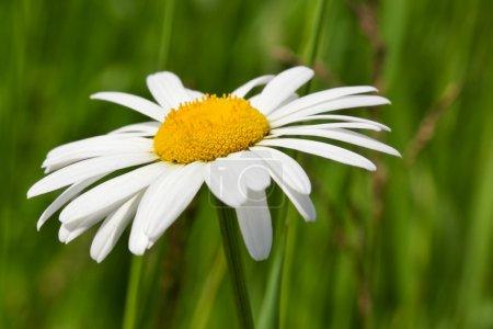 Photo pour Fleur de camomille - image libre de droit