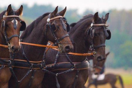Photo pour Chevaux brun a concouru dans le recul des jours ensoleillés dans l'après-midi - image libre de droit