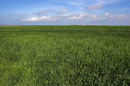 Photo for Green wheat field with blue sky - Royalty Free Image