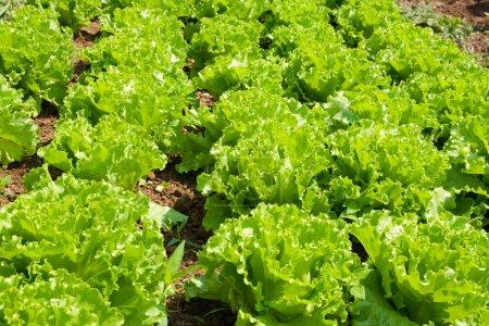 Healthy home lettuce in rows in garden....
