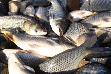 Catching live fish