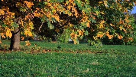 Chestnut tree fall