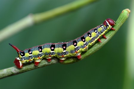 Macro caterpillar
